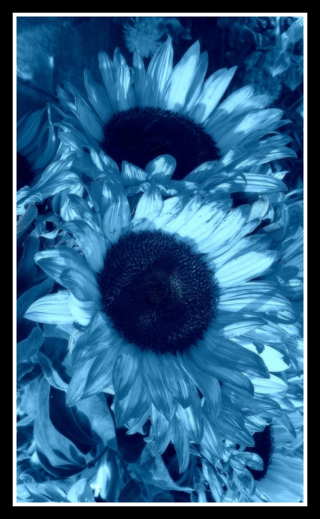 2015-06-10 S4 742 Blue Urban Flowers sunflower framed